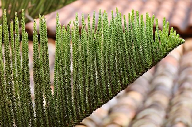 Folhas de pinheiro verde contra o telhado de azulejos rústicos em chachapoyas