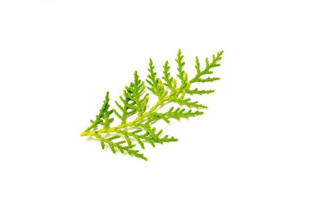 Folhas de pinho verde e galho isolado no branco
