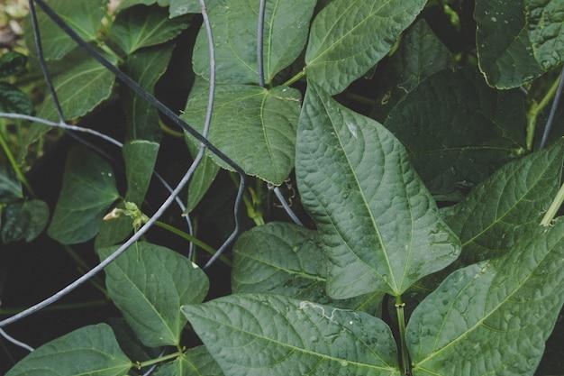Folhas de plantas de feijão