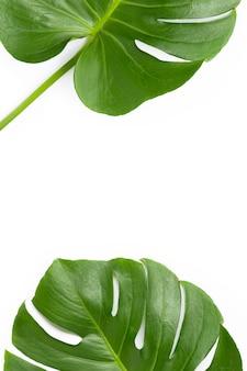Folhas de plantas monstera em branco