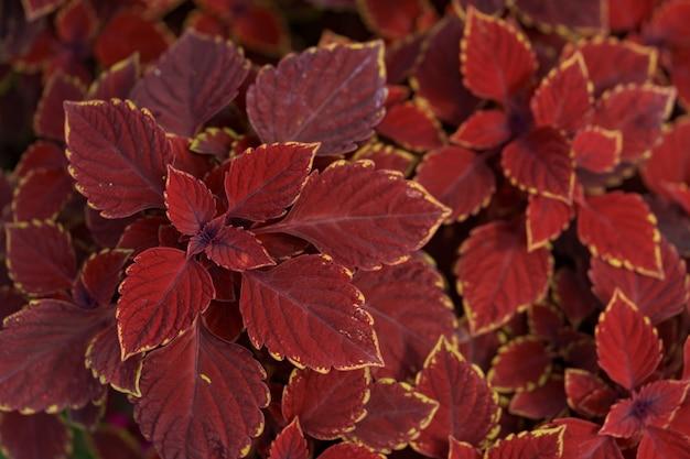 Folhas de plantas vermelhas abstratas na natureza