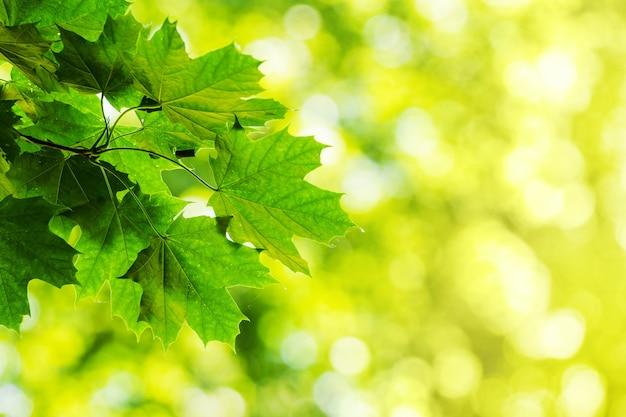 Folhas de plátano verde no fundo desfocado em tempo ensolarado. copie o espaço
