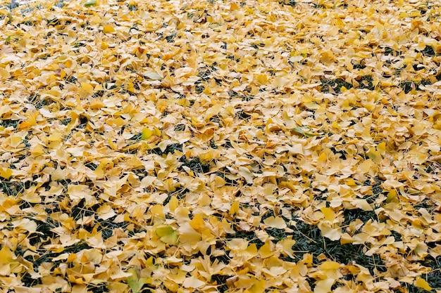 Folhas de queda da nogueira-do-japão na grama.