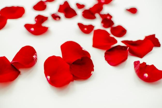 Folhas de rosa vermelha