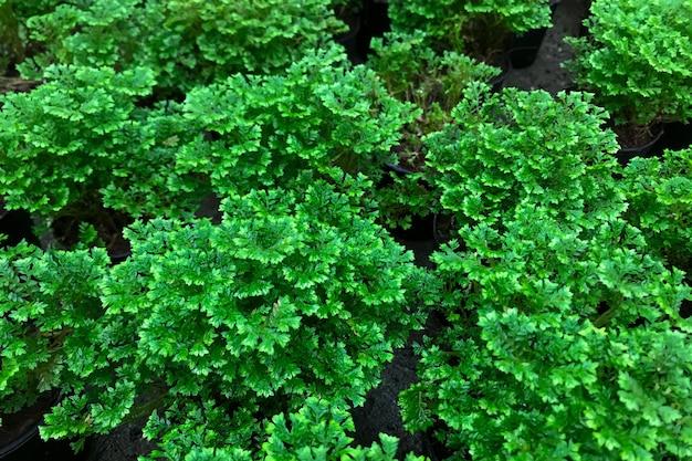 Folhas de salsa de jardim, petroselinum crispum, em um jardim