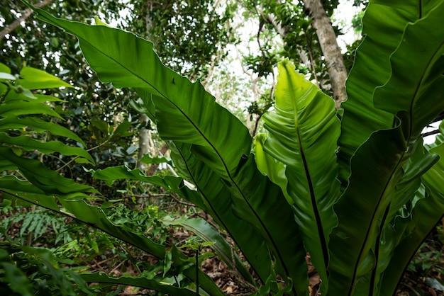 Folhas de samambaia de ninho de pássaro no meio da selva iluminadas por uma luz suave. ilha de iriomote.