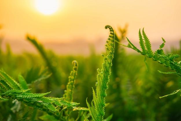 Folhas de samambaia e sol da manhã