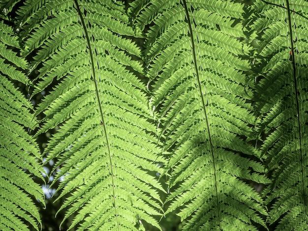 Folhas de samambaia verde bonita na natureza. fundo de samambaia de floresta