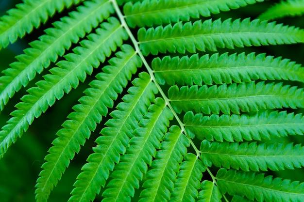 Folhas de samambaia verde close-up de fundo