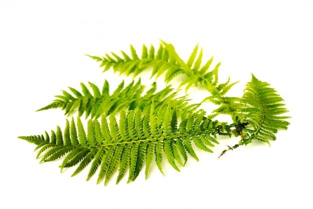 Folhas de samambaia verde curvo isoladas
