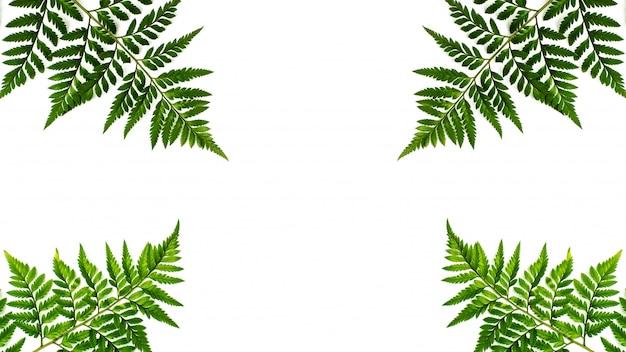 Folhas de samambaia verde isoladas no fundo branco
