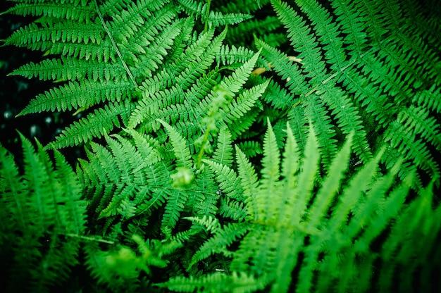 Folhas de samambaia verde natural
