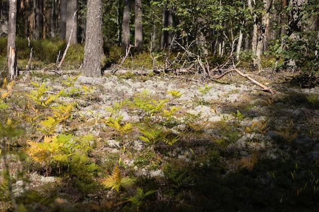 Folhas de samambaias folhagem verde no verão floresta de coníferas samambaia verde arbustos no parque entre bosques