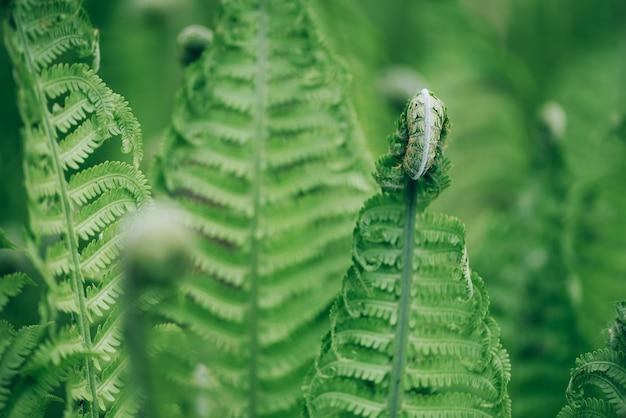 Folhas de samambaias verdes. folhagem natural conceito da natureza.