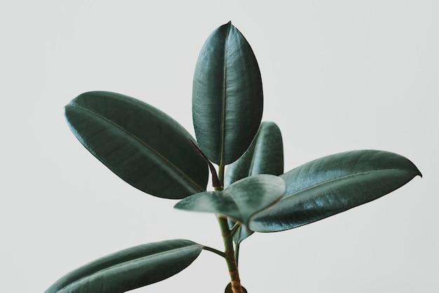 Folhas de seringueira em fundo cinza