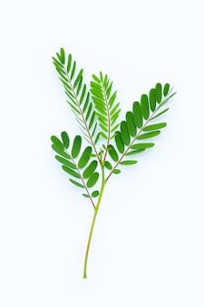 Folhas de sesbania grandiflora na superfície branca