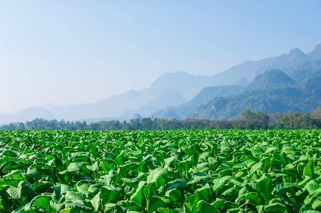 Folhas de tabaco cru em fazendas de tabaco