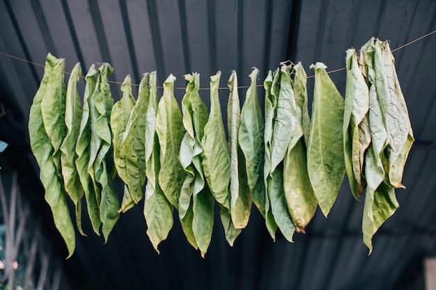 Folhas de tabaco secando na corda