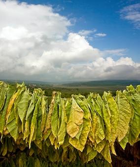 Folhas de tabaco secando no galpão