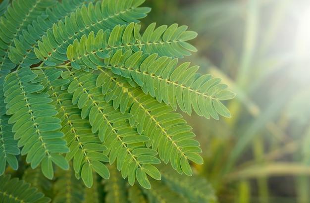 Folhas de tamarindo com luz do sol