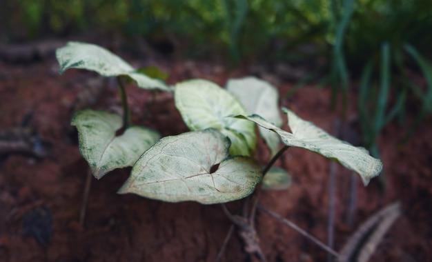 Folhas de taro branco em um galho
