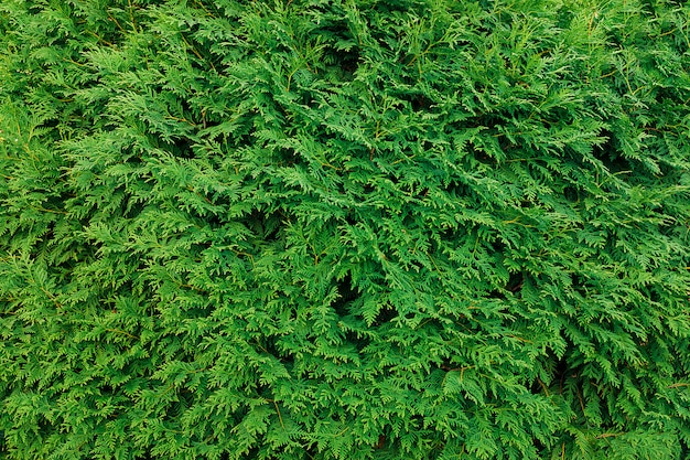Folhas de thuja verde