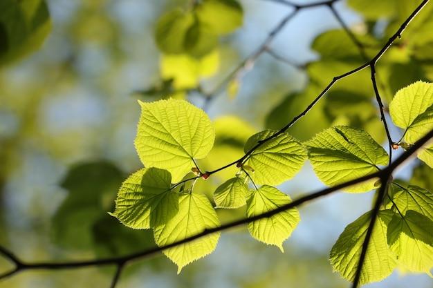 Folhas de tília da primavera em um galho na floresta