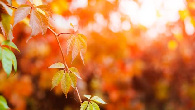 Folhas de trepadeira ao nascer do sol