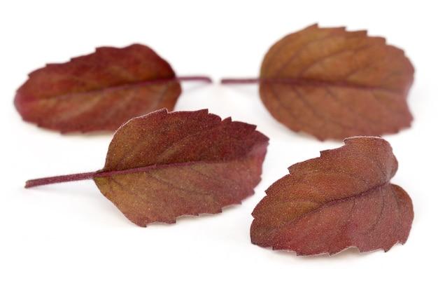 Folhas de tulsi vermelhas medicinais sobre fundo branco