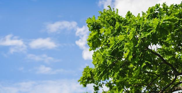 Folhas de um jovem carvalho em um fundo de céu azul. nature bunner.