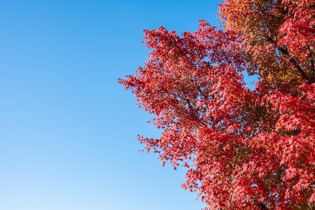 Folhas de uma árvore de bordo vermelho no céu azul sem nuvens.
