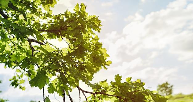 Folhas de uma árvore de carvalho jovem em um fundo do sol ou nascer do sol. nature bunner.