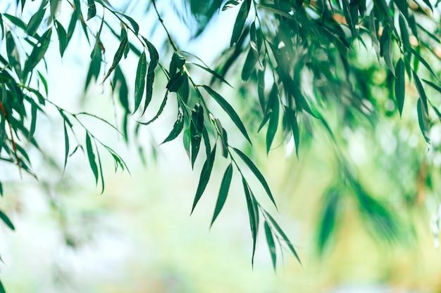 Folhas de uma árvore de salgueiro