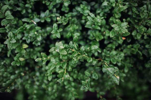 Folhas de uma planta buxus. verde, fundo