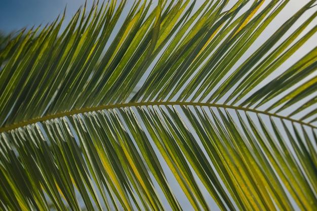 Folhas de uma planta exótica babaçu