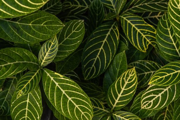 Folhas de uma planta zebra, espécie de sanchezia, fundo natural verde com folhas amarelas, plantas de jardim tropical