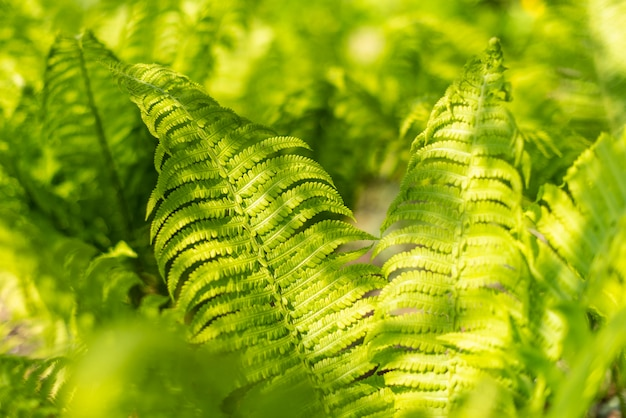 Folhas de uma samambaia suculenta verde na floresta de primavera