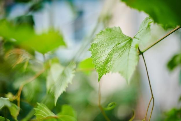 Folhas de uva em vinhedo. folhas verdes da videira no dia ensolarado de setembro. em breve, no outono, colheita de uvas para fazer vinho, geléia, suco, geléia, extrato de semente de uva, vinagre e óleo de semente de uva.