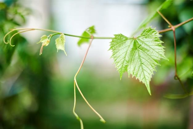 Folhas de uva em vinhedo. folhas verdes da videira no dia ensolarado de setembro. logo colheita de outono de uvas