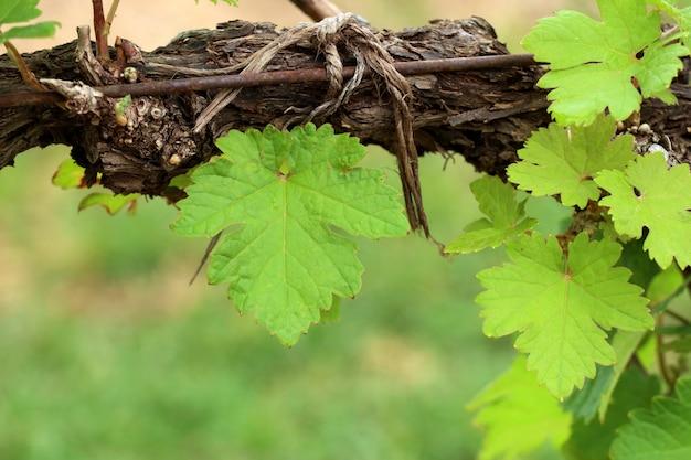 Folhas de uva na vinha
