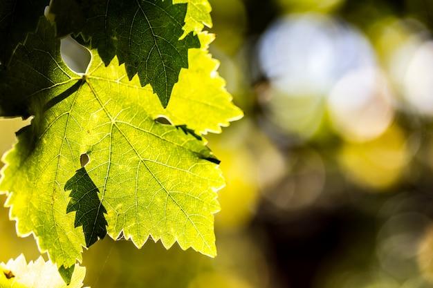 Folhas de uva no wineyard