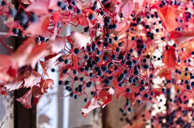 Folhas de uva vermelha selvagem e bagas roxas. fundo brilhante linda queda.