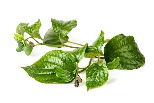 Folhas de wildbetal leafbush ou piper sarmentosum isoladas no fundo branco.