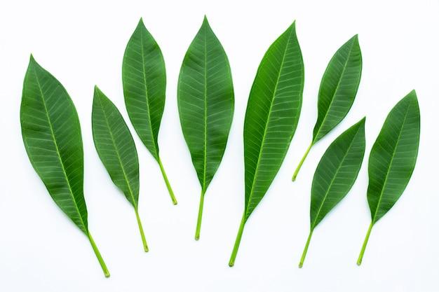 Folhas do plumeria no branco. vista do topo
