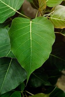 Folhas do verde de bodhi na natureza.