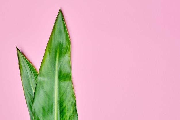 Folhas do verde isoladas em um fundo rosa com espaço da cópia.