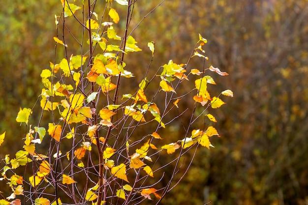 Folhas douradas de bétula em uma árvore