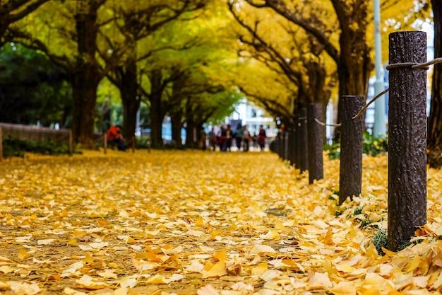 Folhas douradas do ginkgo que caem em torno da terra, estação do outono em tokyo.