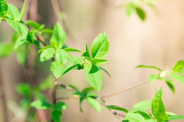 Folhas e brotos de primavera