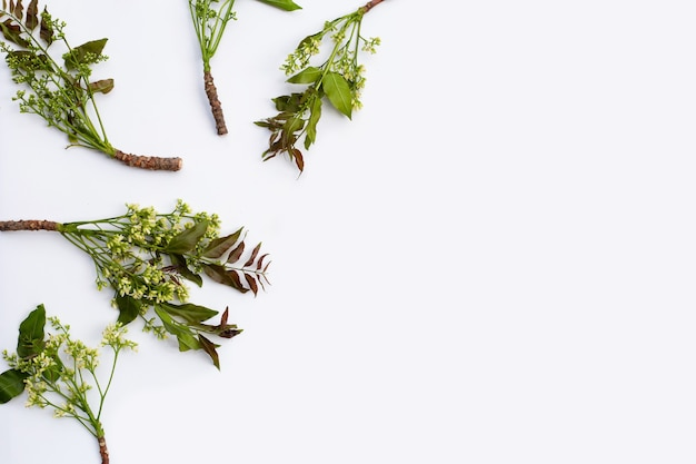 Folhas e flores de neem no fundo do wihte.